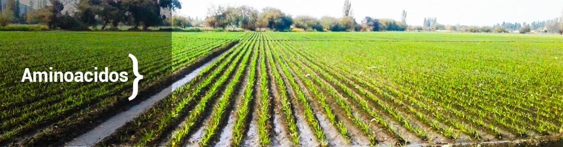 Fertilizantes foliares a base de aminoácidos rico en Arginina.